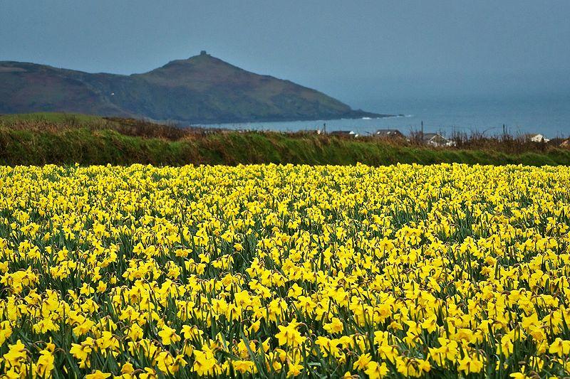 800px-Cornwall_Daffodils.jpg
